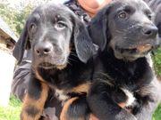 2 welpen Labrador hunde