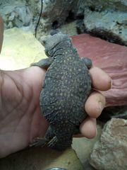 Marokanische Dornschwanzagame Uromastix accanthinura