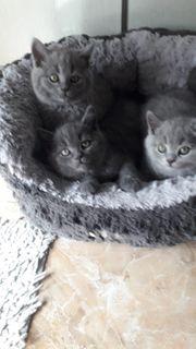 Kätzchen Britisch kurzhaar