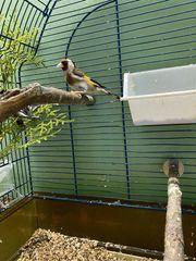 Stieglitz Vögel