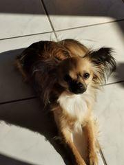 Reinrassiger Langhaar Chihuahua Wild Sable