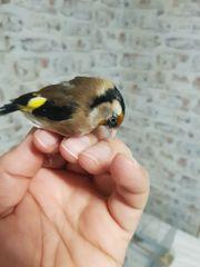 1 Weibchen Europäische stieglitz Vogel