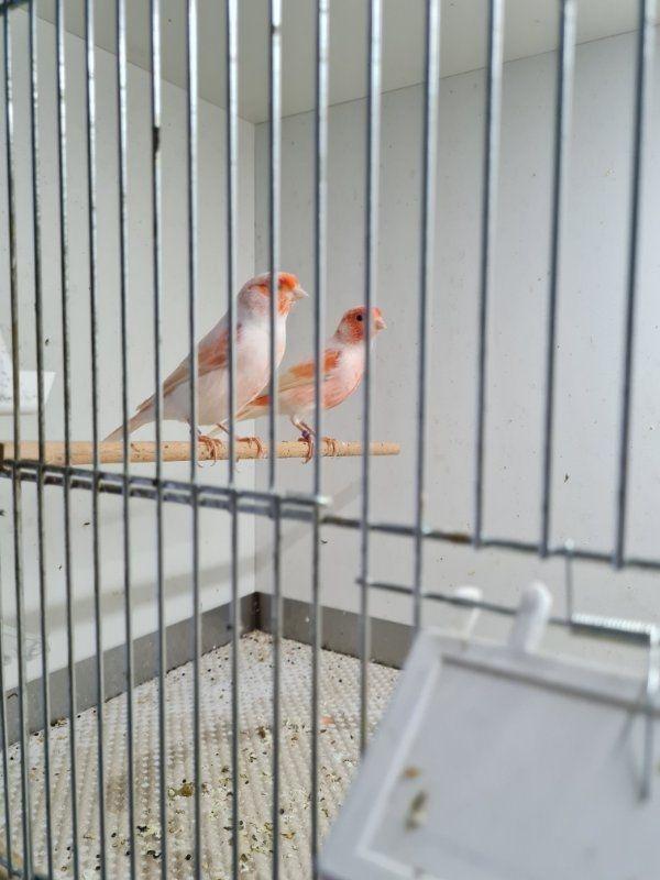 Kanarienvögel Rot Weiß Mosaik 2021