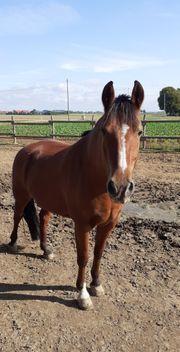 Pflegebeteiligung für dominantes Pferd gesucht