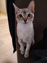 Singapura Kitten KATER Die Kleinste