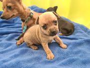 Prager Rattler Chihuahua Welpen