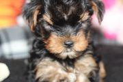 Yorkshire Terrier kleinbleibend