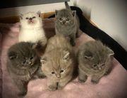 5 wunderschöne reinrassige Bkh Kitten