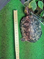 wasserschildkröten Männchen abzugeben