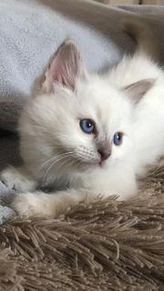 Wunderschöne Birma Kitten abzugeben