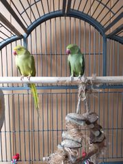 Halsbandsittich Hennen