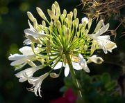 Agapanthus - Schmucklilie weiß 3-5 Trieben