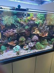 Diverse Meerwasser Korallen SPS Ableger