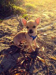 Chihuahua Mini abzugeben