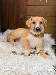 Welpe Xoloitzcuintle Mexican Dog