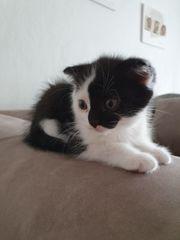 Scottish Fold Ekh Mix Kitten