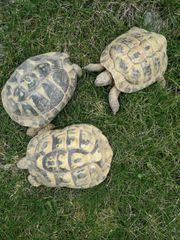 Gruppe Griechische Landschildkröten mit Papieren