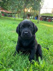 Labrador Golden Retriever Welpen