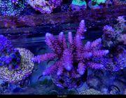 SPS Korallen Rhein-Main update 15
