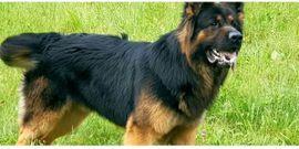 Deckanzeige Altdeutscher Schäferhund: Kleinanzeigen aus Nordhalben - Rubrik Hunde