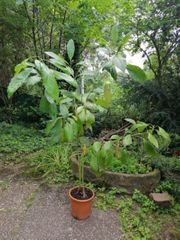 2 Avocadobäume in 1