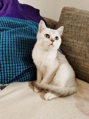 BKH Kitte Britisch Kurzhaar Katze