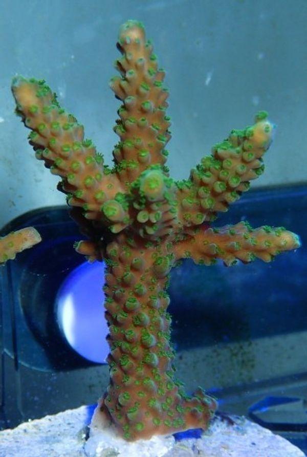 Meerwasser Korallen: SPS, LPS, Weichkorallen