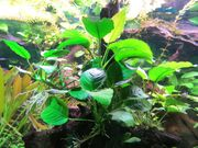 Aquarium Pflanzen Anubia