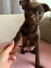 Chiwalonka Welpen Chihuahua-Bolonka Welpen