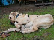 Lieber Hirtenhund Kangal 4 Jahre