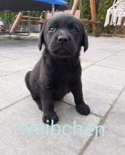 Schwarzes Labrador weibchen