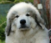 Pyrenäenberghund Welpen