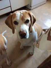 Bi-Color Beagle Deckrüde kein Verkauf