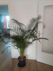 Palme 1m 50