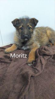 Moritz geb 2021 Rabauke sucht