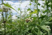 Blühpate Blühpatenschaft Bienenweide Blühfläche Bienen