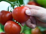 Rinderdung der natürlich biologische Gemüsedünger