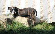 Old English Bulldogge Welpen