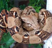 unser Hannibal Boa Constrictor Imperator