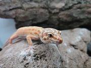 Leopardgeckos 2 4 Firewater Wild