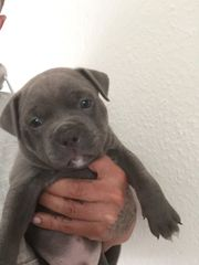 American Pocket bullys mix Silver