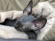 Reinrassige Canadian Sphynx Kitten Kanadische