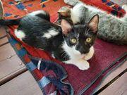 Vasso wunderschönes Kittenmädchen ca 4