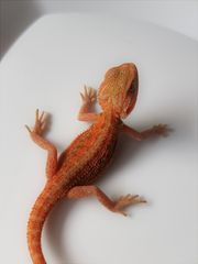 Baby Bartagame Rot