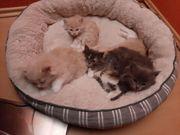 5 Wunderbare Maine Coon Kitten