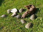Griechische Landschildkröten THB mit Cites
