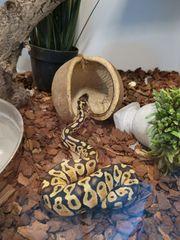 Königspython Pastel 1 0 Python