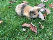 Zwergkaninchen Zwergwidder mehrfarbig Kaninchen Hasen