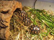 Junge griechische Landschildkröten zu verkaufen