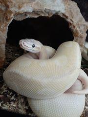 Königspython Pastel Yellow Mojave W